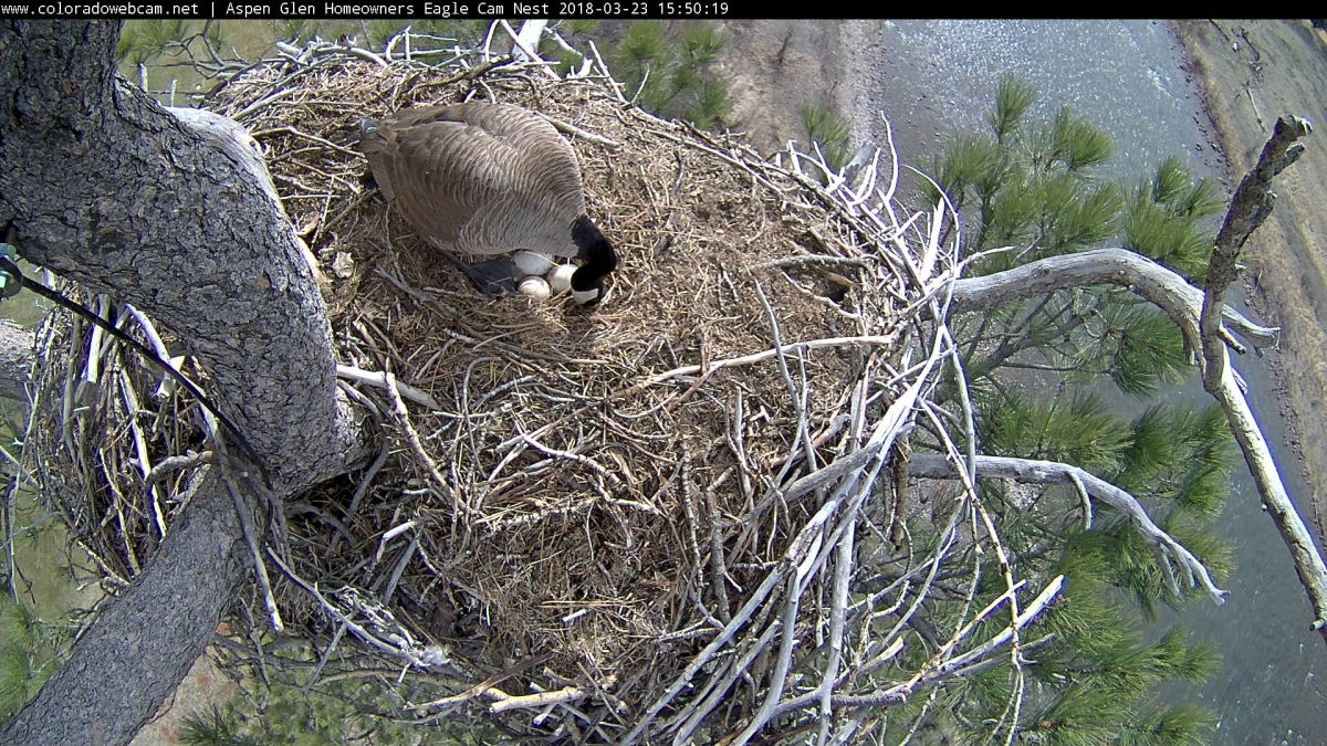 Goose nesting in eagles nest